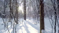 Forest after a snowfall. Walk in the winter forest.