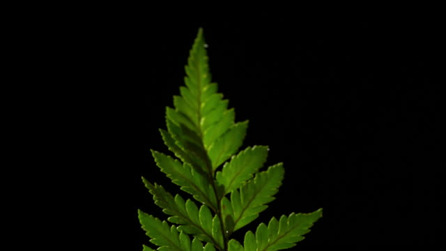 forest fern with black background flower plant stock