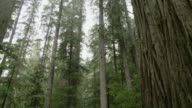 A forest full of high conifers