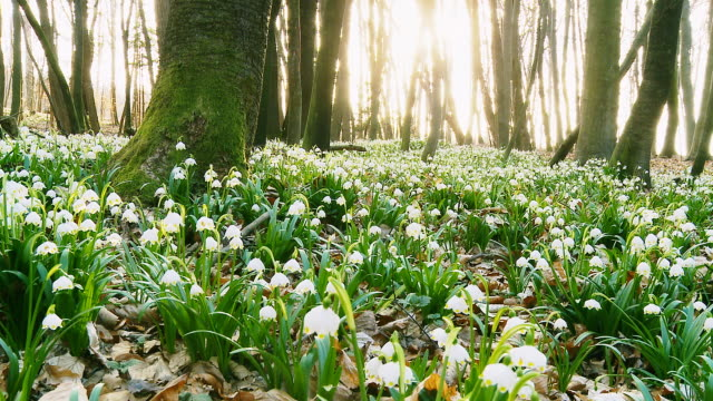 HD DOLLY: Forest Full Of Spring Snowflakes