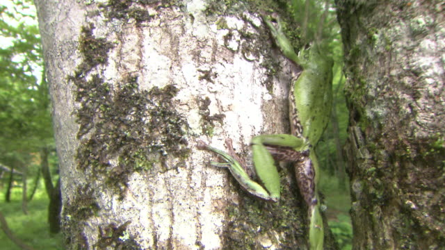 A Forest Green Tree Frog Climbing Up A Tree