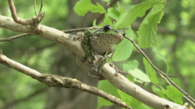 A Forest Green Tree Frog Jumping From A Branch To Another