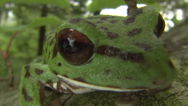A Forest Green Tree Frog On The Tree