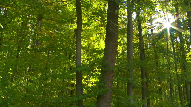 Forest In The Sunlight Tracking Shot