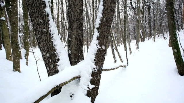 Forest in Winter; HD Dolly