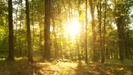 HD: Forest With Direct Sunlight Behind Trees