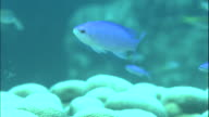 Forktailed sea bass swim near the coral reefs of Amami Oshima Island, Japan.