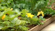 Former Women's Land Army members visit replica allotment in St James' Park with Hilary Benn Good close shots of vegetables planted in allotment...