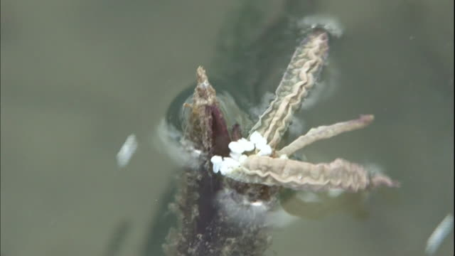 A fortunate male flower pollinates the female flower of the Enhalus acoroides near Ishigaki Island, Japan.