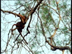 Fossas precariously mate in tree, Madagascar