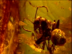 Fossilized ant preserved in amber