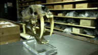 A fossilized skull is put on display. Available in HD.