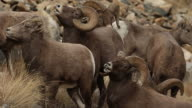 MS Four Bighorn sheep rams (Ovis canadensis) lip curl (flehmen response) and smell the air for females in heat during the November rut