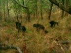 WS, PAN, Four chimps (Pan troglodytes) walking through forest, Gombe Stream National Park, Tanzania