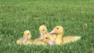 Four ducklings sitting on grass