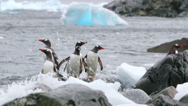 Four Gentoo Penguins arrive on a beach amongst bits of ice