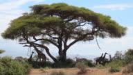 MS Four giraffes under hughe acacia tree AUDIO / Amboseli, Rift Valley, Kenya