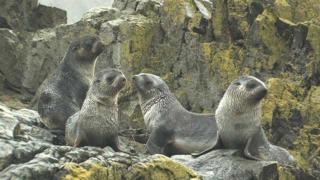 MS, Four immature southern fur seals (Arctocephalus gazella) on lichen covered rocks in rain, South Georgia Island, Falkland Islands, British overseas territory
