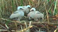 Four Marsh Harrier Chicks