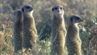 Four meerkats stand alertly on hind legs.
