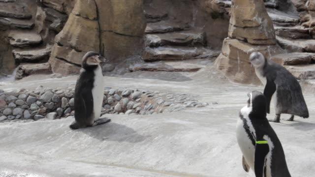 Four penguins walking around their habitat