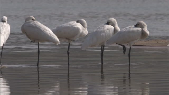 Four spoonbills sleep as they stand on one leg in the Chambal River. Available in HD.