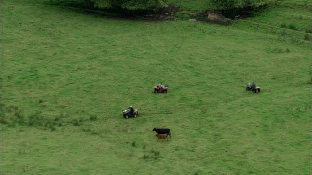 Four wheelers herd a wayward heifer. Available in HD.