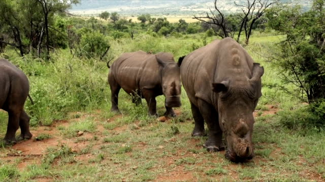 MS Four white rhinoceros grazing/ South Africa