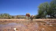 MS Four whitetail deer approaching water sludge cautiously / Tucson, Arizona, United States