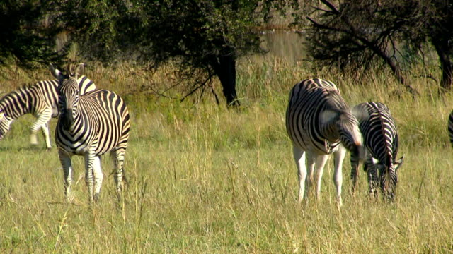 Four zebras in a veld eating grass/ Entabeni Private Game Reserve/ South Africa