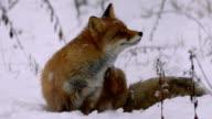 Fox and winter