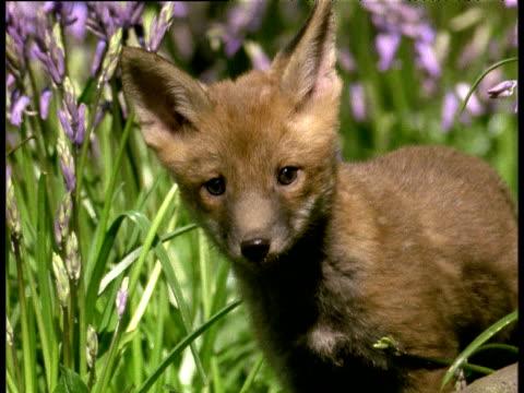 Fox cub gambols amongst bluebells in spring woodland, England