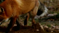 Fox digging a hole