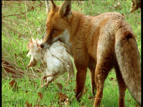 Fox drops and sniffs at dead chicken, UK