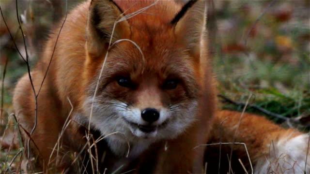 Fox eats