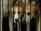 Fox hounds in kennel looking through bars 1998