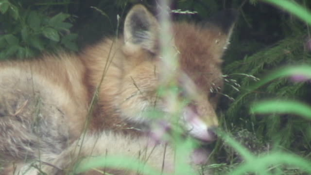 Fox is tired