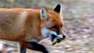 Fox runs with prey