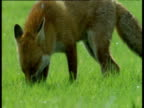 Fox sniffs at grass in field, UK
