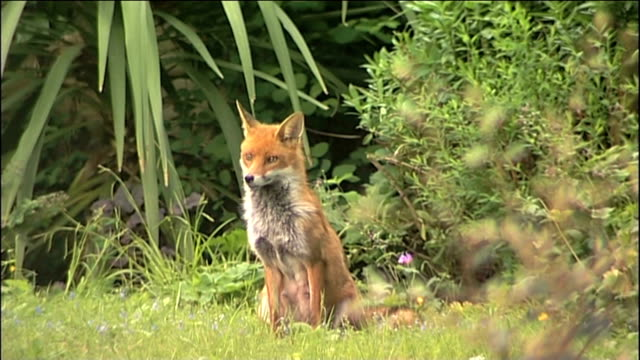 Fox Vixen in garden