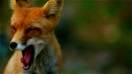 Fox yawns