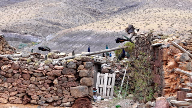 Free Indian peafowls in Fuerteventura abandoned countryside - Canary Islands