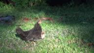Free range black hen with chicks in farm.
