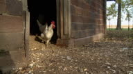 MS SLO MO Free range chickens exiting coop / Wilmington, Illinois, USA