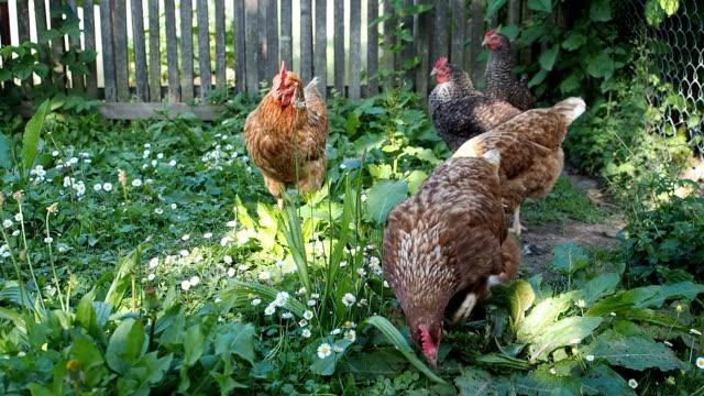 Freilaufenden Hühnern im Garten Weiden