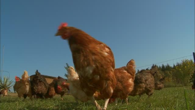 Free range chickens peck in a grassy field.