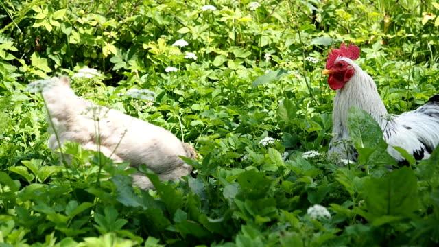 Freilandhaltung Hahn und Huhn Weiden im Garten