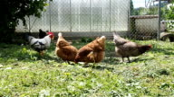 Free range rooster and chickens grazing in the garden