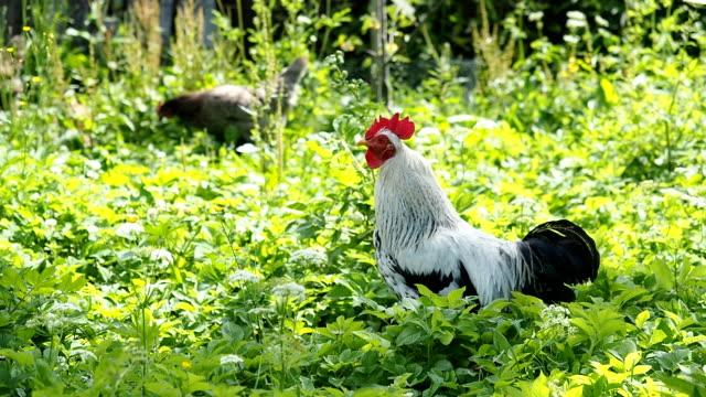 Freilandhaltung Hahn und Hühner grasen im Garten