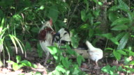Free range rooster and hen in Cuban farm. The domestic animals are kept for food production